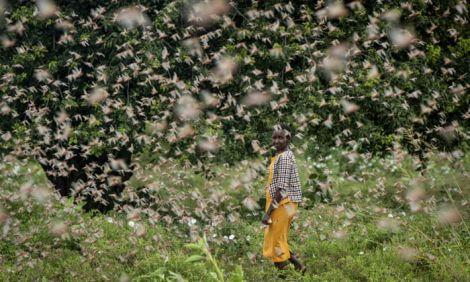 A farmer walks by a swarm of desert locusts in Kenya in January 2020