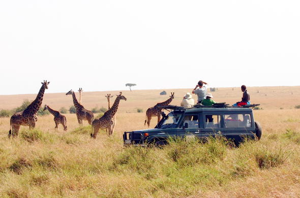 A group of giraffe spotted during a game drive in the Masai Mara.