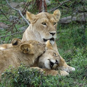 African safari tours Kenya lioness and two grown cubs