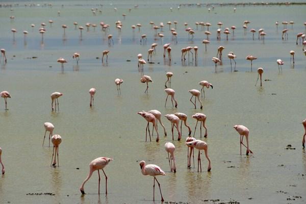 Flamingoes feeding in Lake Nakuru Kenya safaris