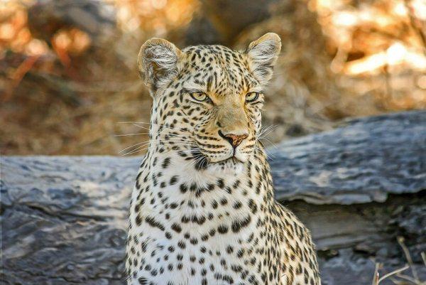 Leopard in Samburu Kenya safaris
