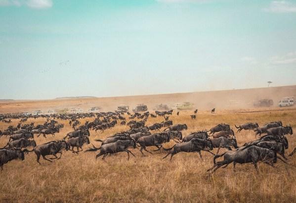 Wildebeest migration safari masai mara kenya
