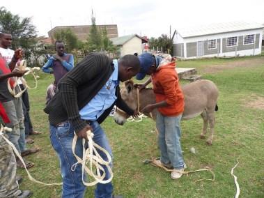 Donkey training at Kiserian