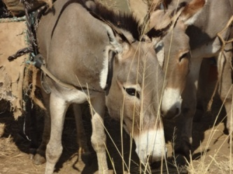 Withdrawal attitude of donkey due to cultural practices