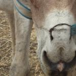 Vacancy: Project Manager – KVA Donkey Welfare project