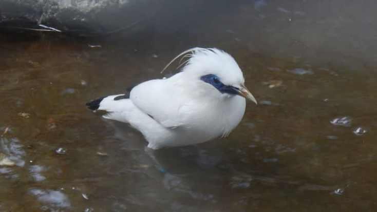 Macam Macam Burung Peliharaan - Burung Jalak