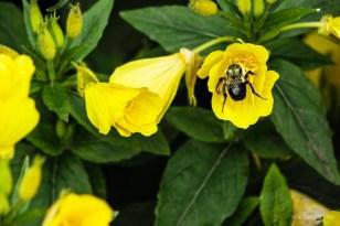 Bee on Oenothera fruticosa Sundrop, Fireworks Evening Primrose Sundrop