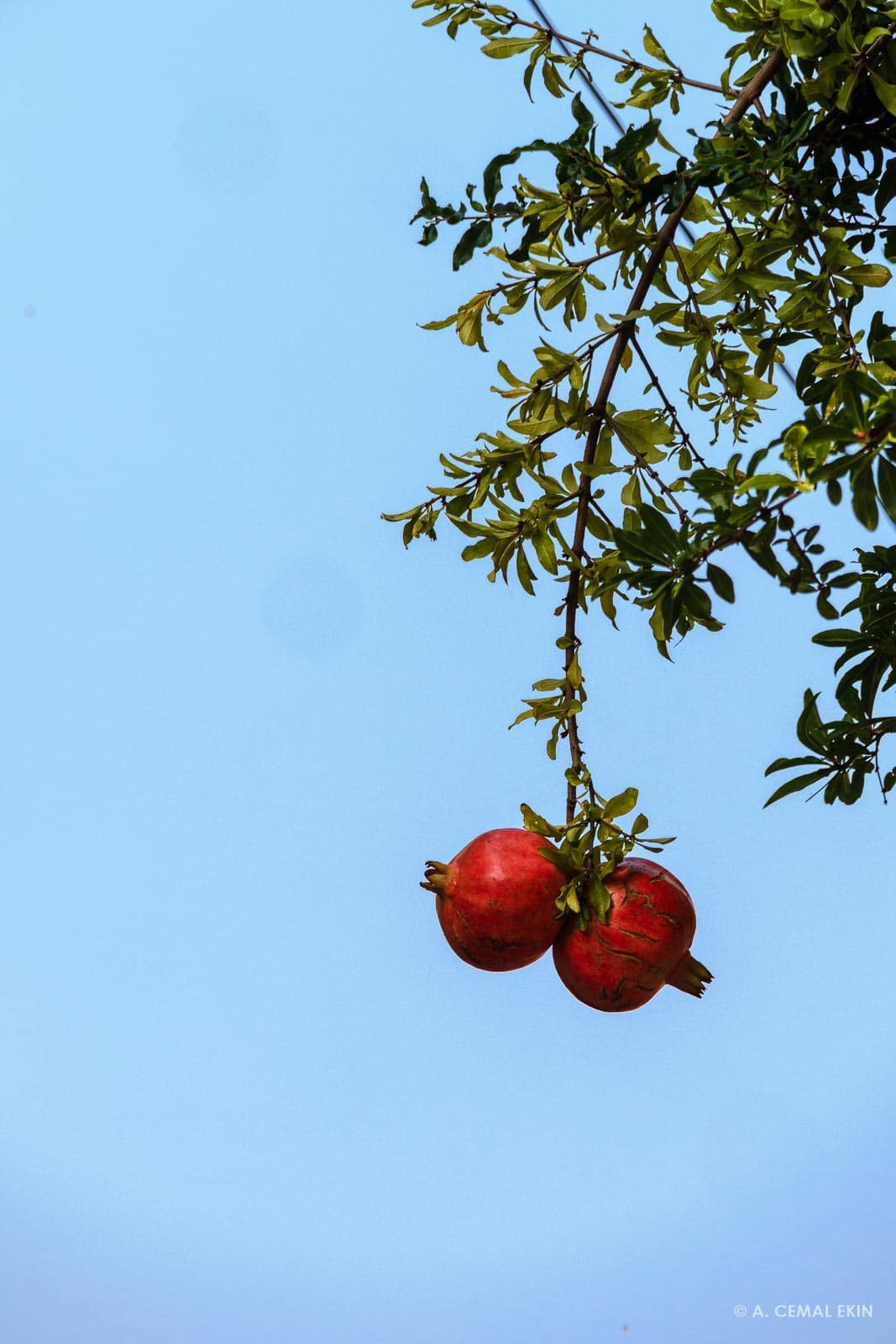 Pomegranate dangling over a street