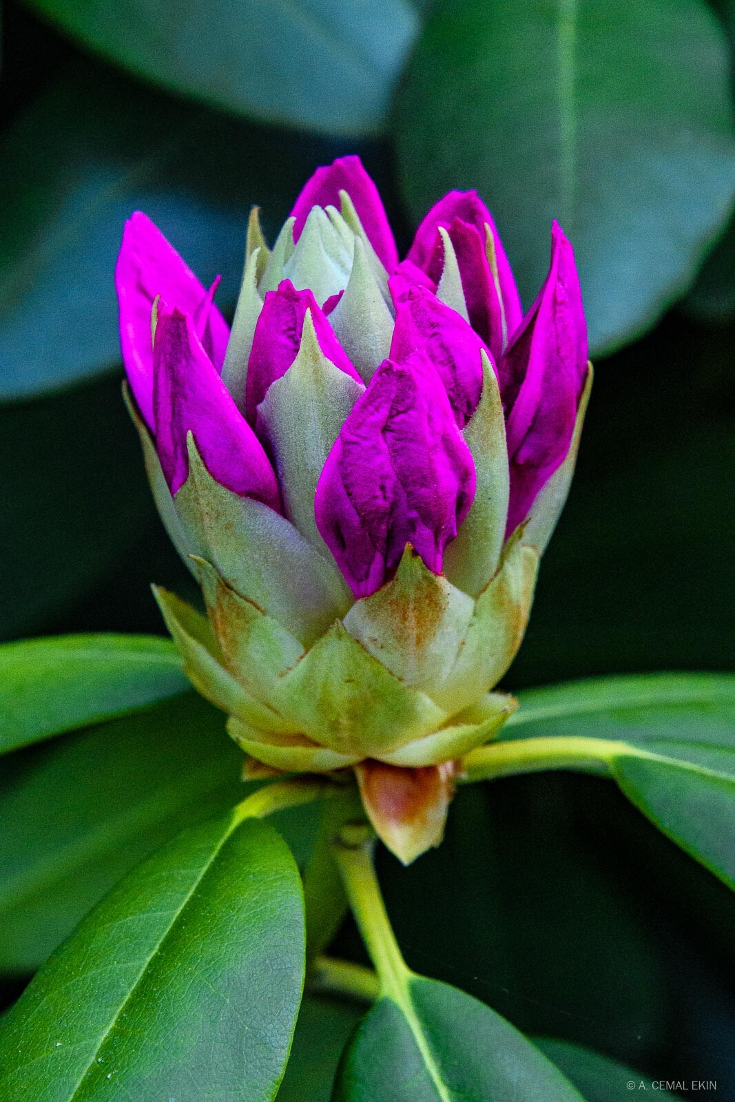 Rhododendron bud symbolizing hope and serenity