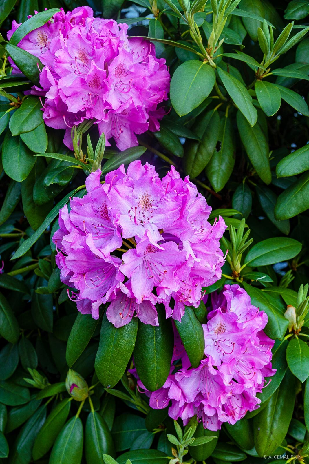 Rhododendron blossoms symbolizing a better future
