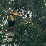 The hornbills (Buceros bicornis) of Nelliampathy