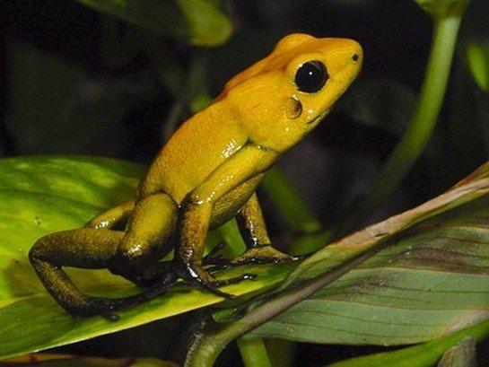 Zehir Oku Kurbağası - Dünyanın En Zehirli Hayvanı
