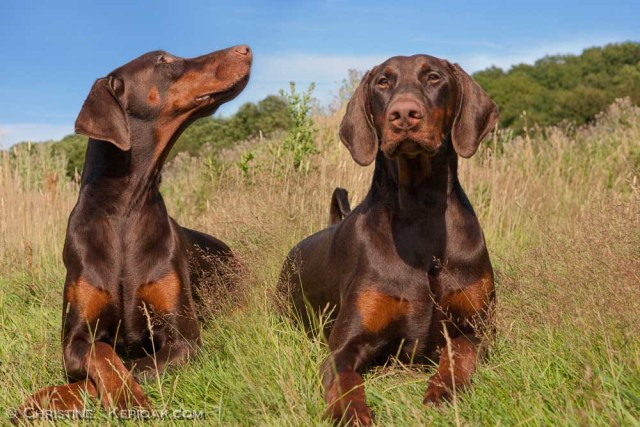 Actually this is one Dobermann in two posses and composited
