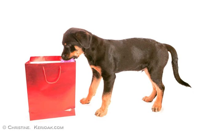 Rottweiler Puppy Taking Item Out of Red Bag Thirteen week old Rottweiler puppy taking a toy out of a red carrier bag in the hope of sneaking away unseen - but we are watching. He is standing side on to the camera and is isolated against a white background
