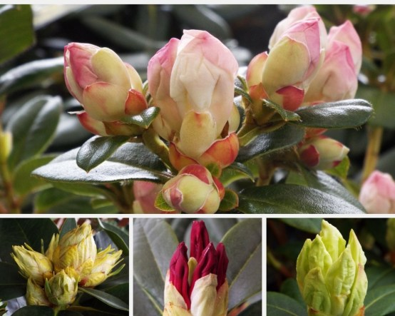 Rhododendron Photo Collage