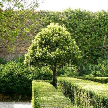Pienza, Giardino di Palazzo Piccolomini, Burjánzó zöld a falak előtt, belül négyes osztású kert: fegyelmezett kúpos formafák, kettős buxus szegélyű rózsaágyak