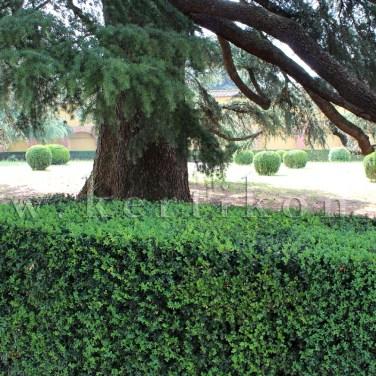 Poggio a Caiano, Villa Medici - a kert idős cédrus fákkal
