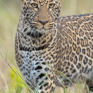 Young Leopard from Mara - Kesavamurthy Photography