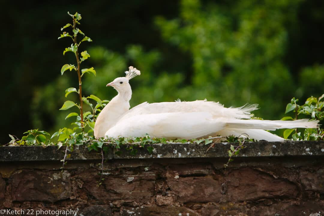 White peacock at How Caple Court wedding venue