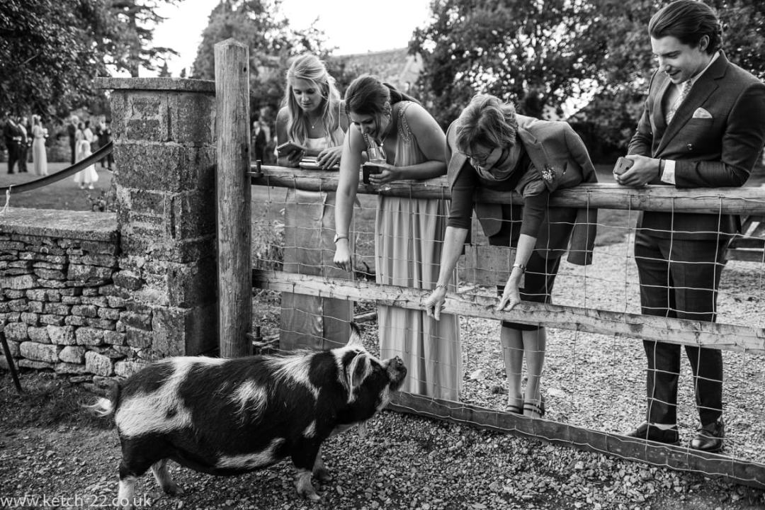 Guests greeting resident pig at Wedding at The great Tythe Barn