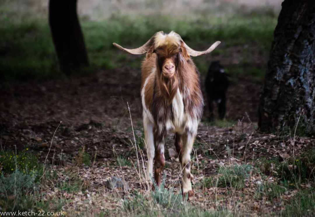 Brown and white goat with horns in the Grazalema natural park