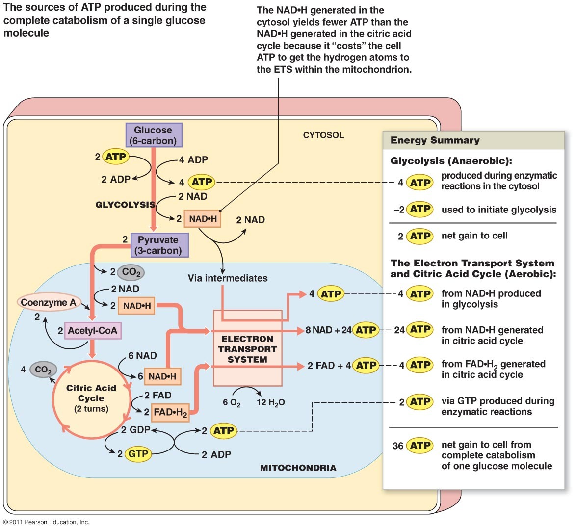 Krebs Cycle Diagram Quiz I17