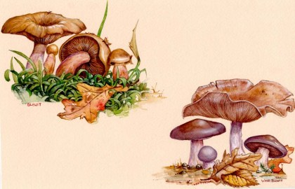 Blewits_1999_by_kevcrossley