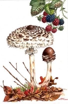 Parasol_mushroom_by_kevcrossley