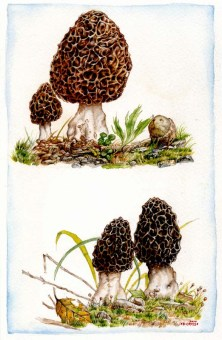 morels_by_kevcrossley