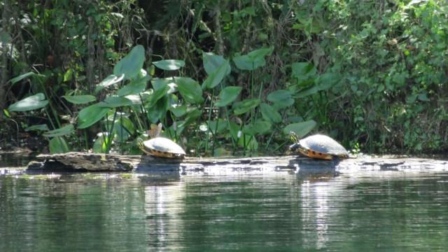 Deze 2 turtles liggen heerlijk te genieten van de zon