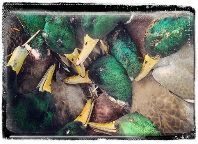 BLOG POST - 2015 - GREENHEADS