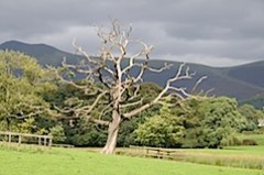 Tree at Derwent Water