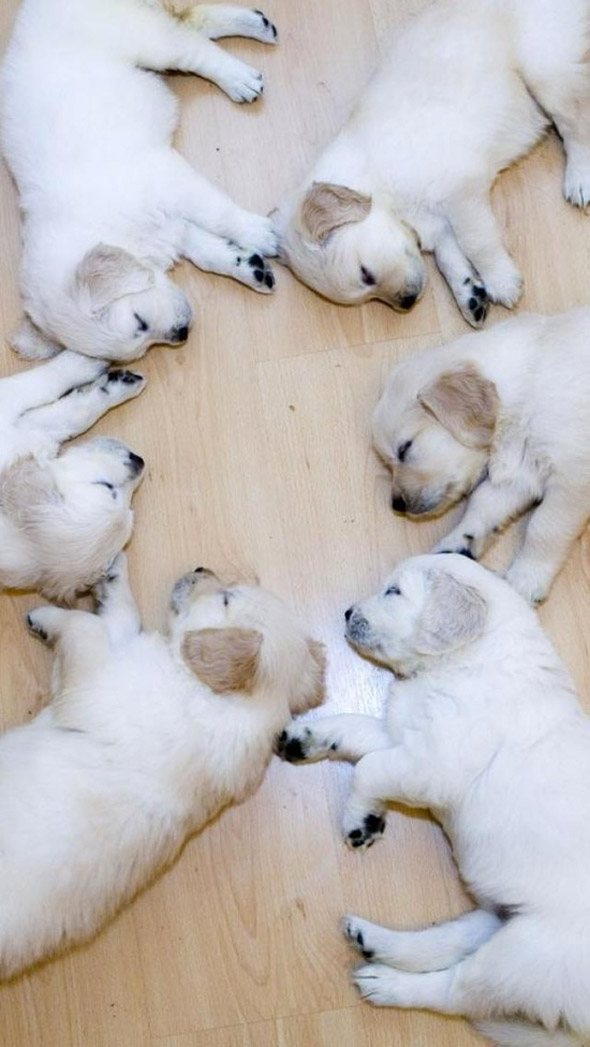 Six Sleeping Puppies