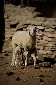 Baby lambs born just the day before.