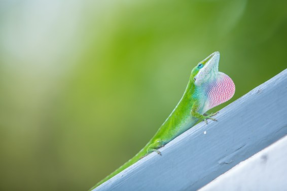 Green lizard puffs up to show you he's too big to eat.
