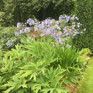 Agapanthus terraces Renishaw