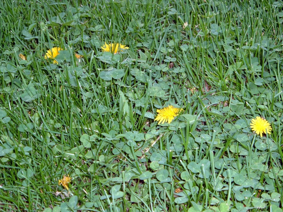 Image result for creeping charlie in turf