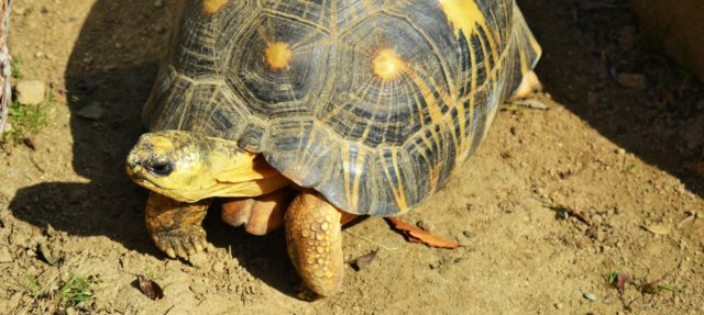 yellow-footed-tortoise-2