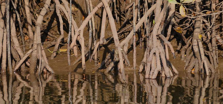 Key Biscayne's Mangrove Hammocks
