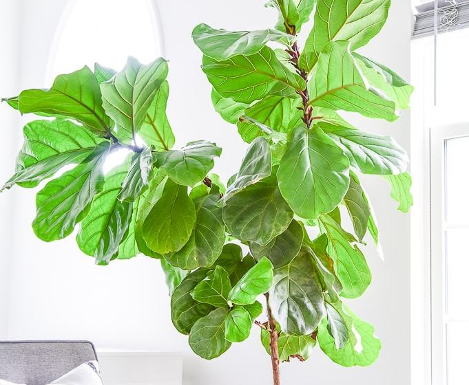 fiddle leaf fig tree branches top part