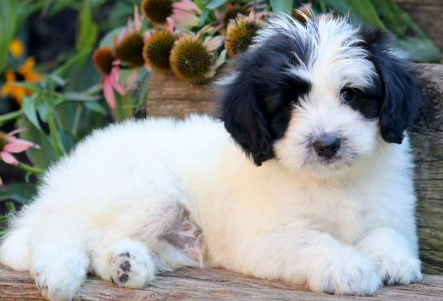 Welsh Corgi Dogs Adoption Purebred
