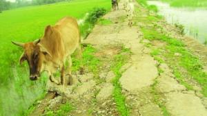 धान के खेत मा घुसत अन्ना जानवर