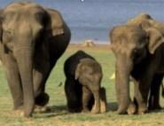 elephant_family