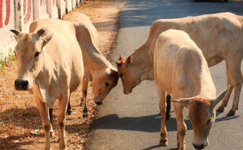 राजस्थान सरकार ने किया फैसला घुमने वाली आवारा या भटकी हुई गायों को संरक्षण देने वाले को सरकार करेगी सम्मानित..