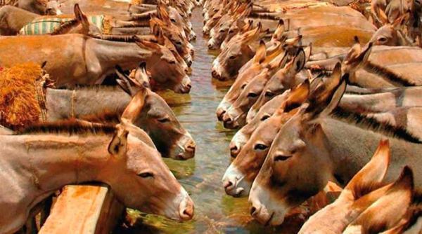 donkey production