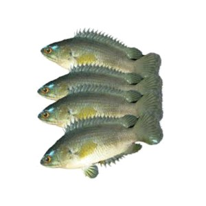 koi fish deshi 1kg