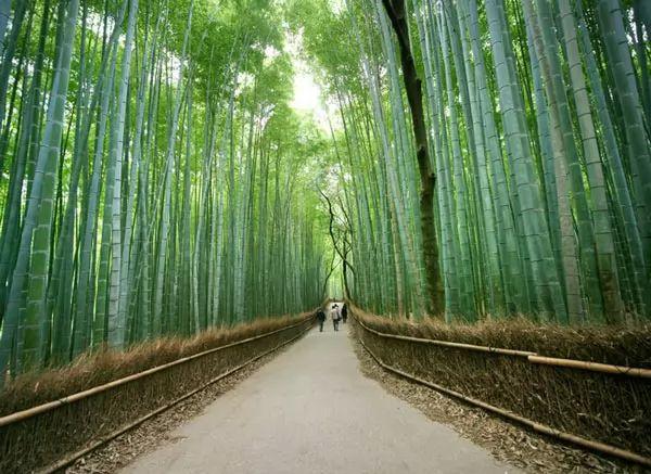 غابة ساجانو للخيزران، اليابان
