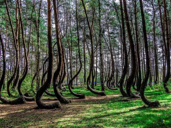 الغابة الملتوية، بولندا