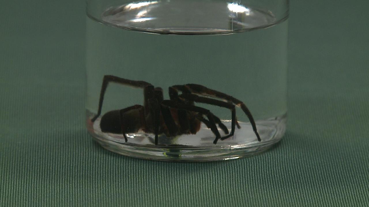 brazilian wandering spider_90512