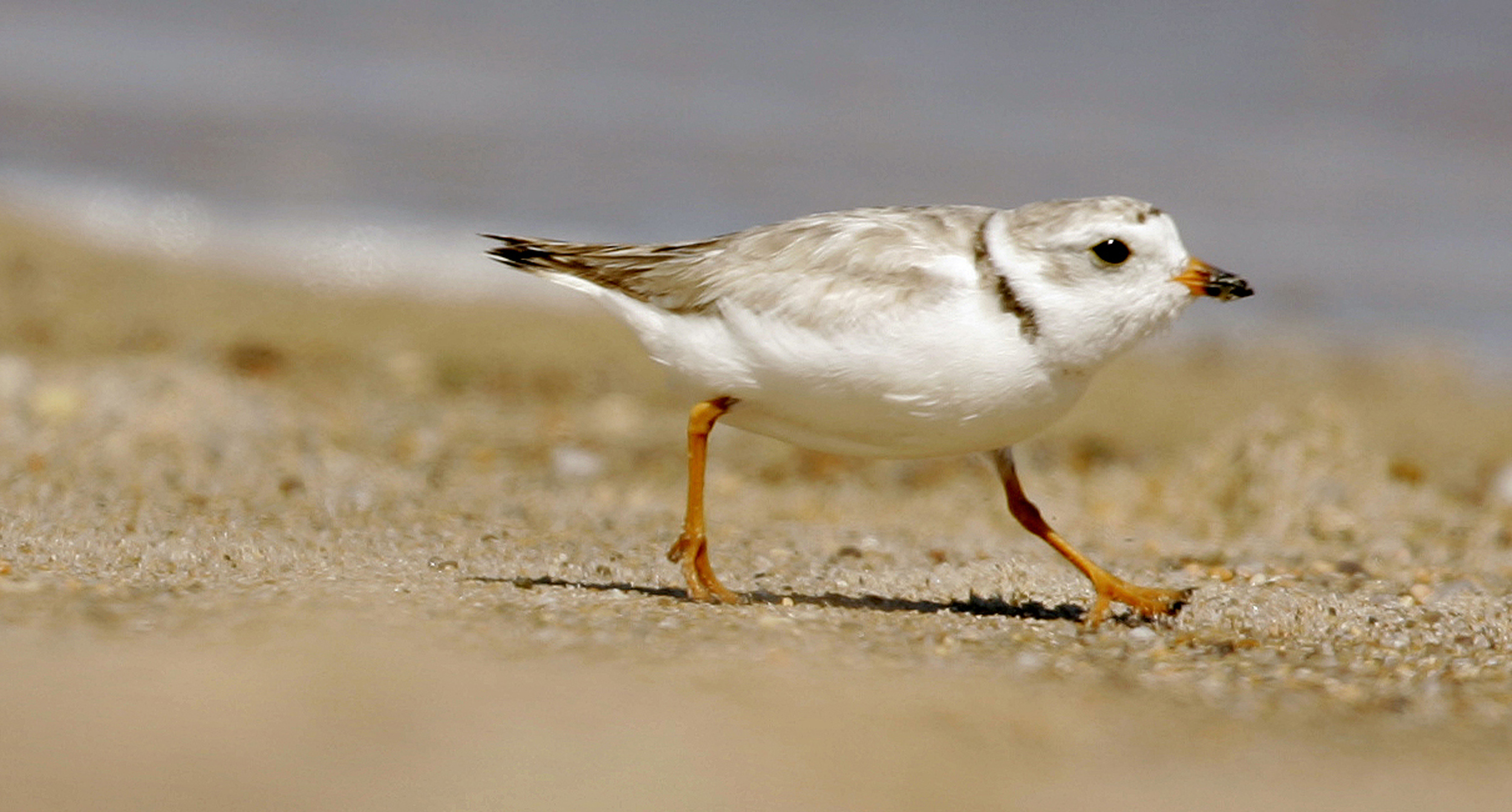Beach Concerts Cancelled-Nesting Birds_1560471225143